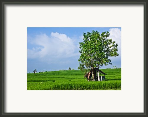 Rice Fields Framed Print By Nila Newsom
