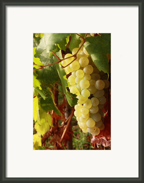 Ripe Grapes Framed Print By Alex Sukonkin