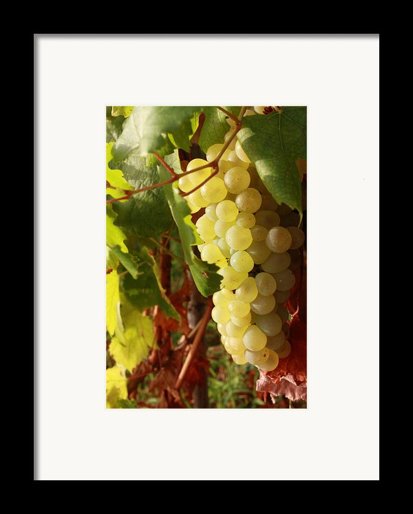 Ripe Grapes Framed Print By Alex Sukonkin