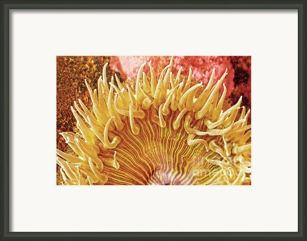 Rise And Shine Sea Anemone- Pictures Of Sea Creatures - Sea Anenome  Framed Print By Artist And Photographer Laura Wrede
