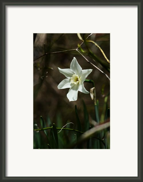 Roadside White Narcissus Framed Print By Rebecca Sherman