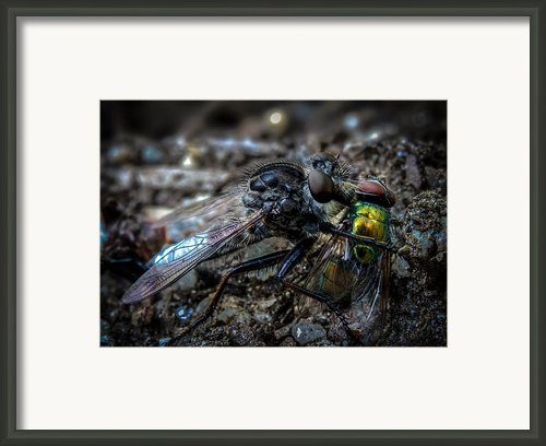 Robber Fly Eating Green Bottle Fly Framed Print By Bob Orsillo
