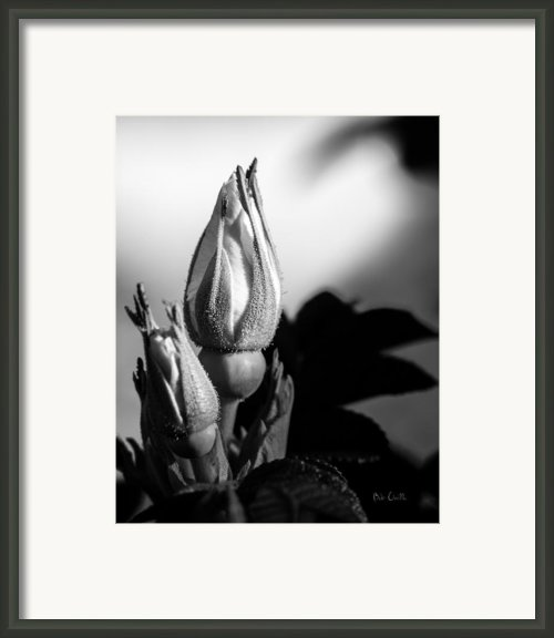 Rose Bud Framed Print By Bob Orsillo