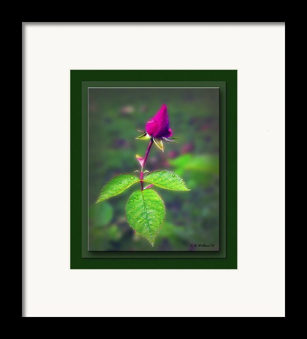 Rose Bud Framed Print By Brian Wallace