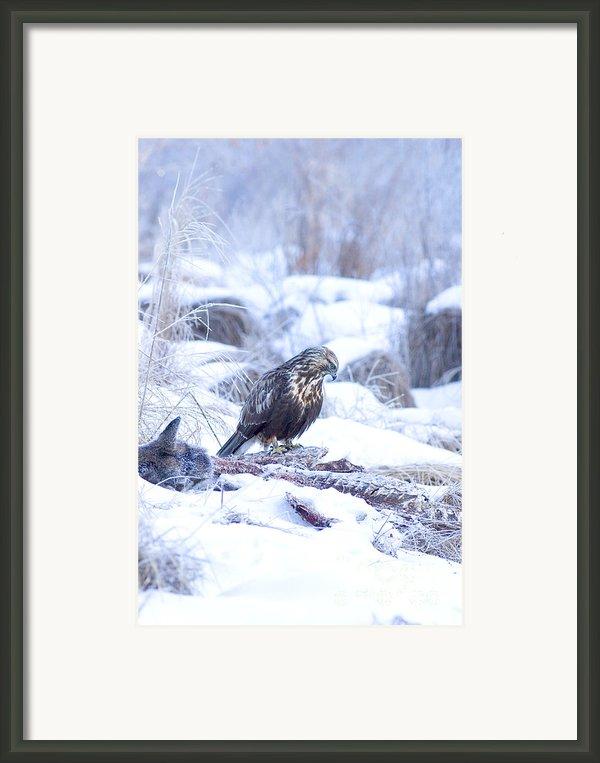Rough Legged Hawk On Deer Carcass Framed Print By Gregory K Scott