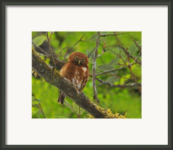 Rufous Morph Costa Rican Pygmy-owl Framed Print By Tony Beck