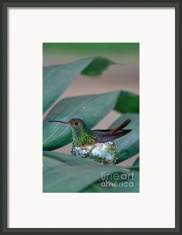 Rufous-tailed Hummingbird On Nest Framed Print By Gregory G Dimijian Md