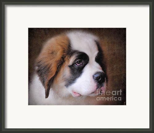 Saint Bernard Puppy Framed Print By Jai Johnson