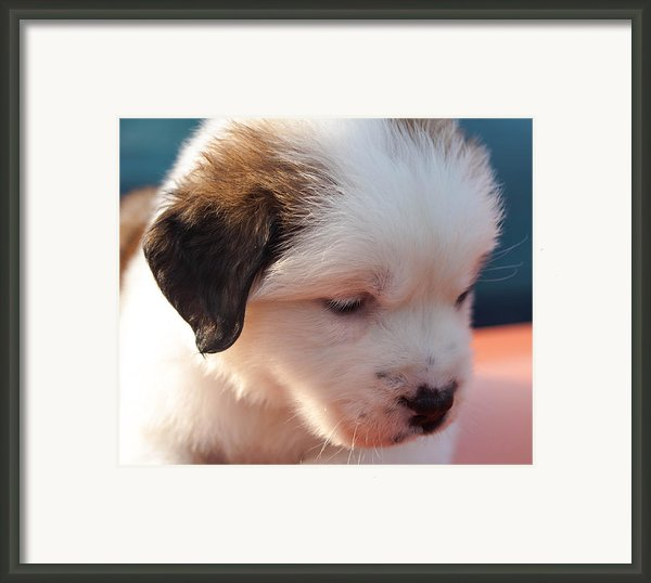 Saint Bernard Puppy Framed Print By Mechala  Matthews