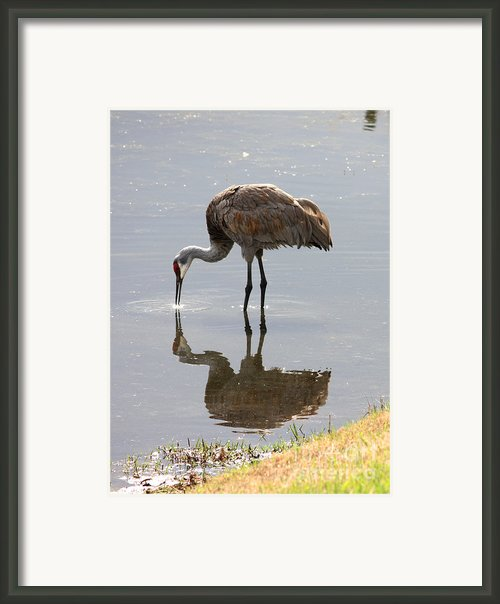 Sandhill Crane On Sparkling Pond Framed Print By Carol Groenen