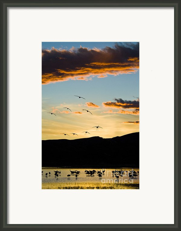 Sandhill Cranes In New Mexico Framed Print By William H Mullins