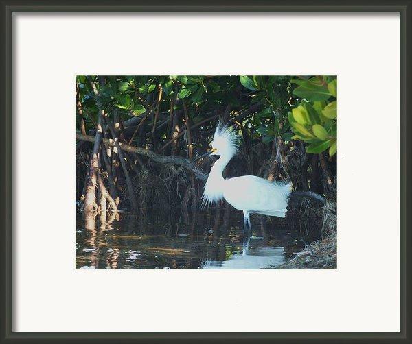 Sassy Snowy Egret Framed Print By Anna Villarreal Garbis