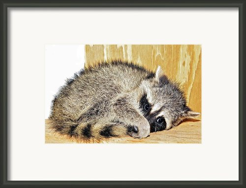 Scared Raccoon Framed Print By Susan Leggett