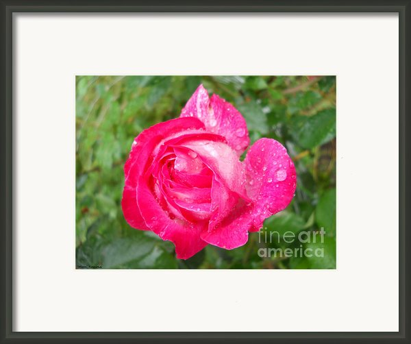 Scented Rose Framed Print By Ramona Matei