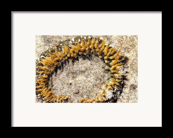 Sea Anenome In The Sand Framed Print By Artist And Photographer Laura Wrede