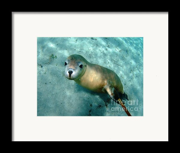 Sea Lion On The Seafloor Framed Print By Crystal Beckmann
