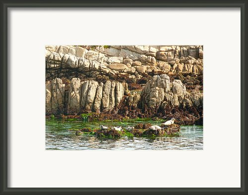 Sea Lions In Monterey Bay Framed Print By Author And Photographer Laura Wrede