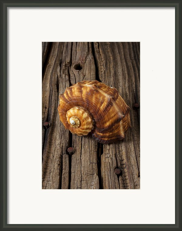 Sea Snail Shell On Old Wood Framed Print By Garry Gay