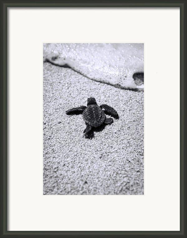 Sea Turtle Framed Print By Sebastian Musial