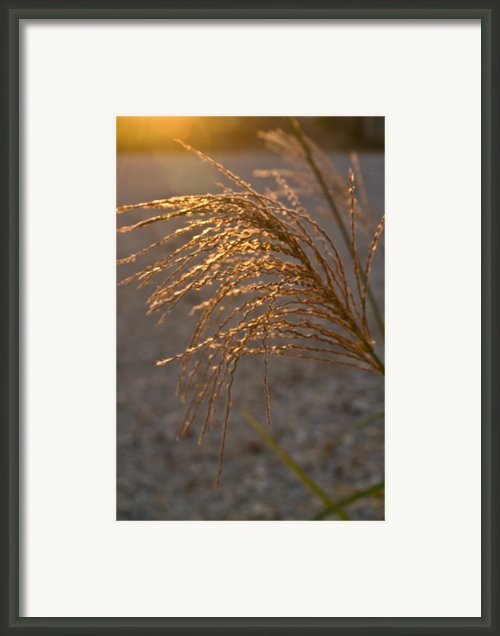 Seed Head At Sunset Framed Print By Douglas Barnett