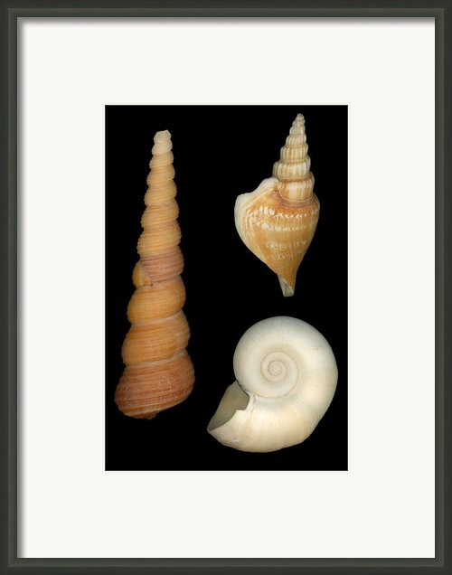 Shell - Conchology - Shells Framed Print By Mike Savad