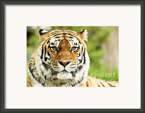 Siberian Tiger Beautiful Closeup Framed Print By Boon Mee