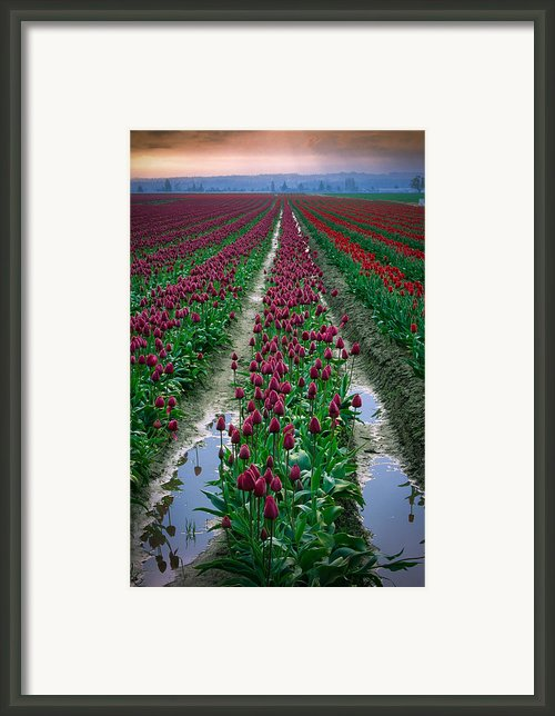 Skagit Valley Tulips Framed Print By Inge Johnsson