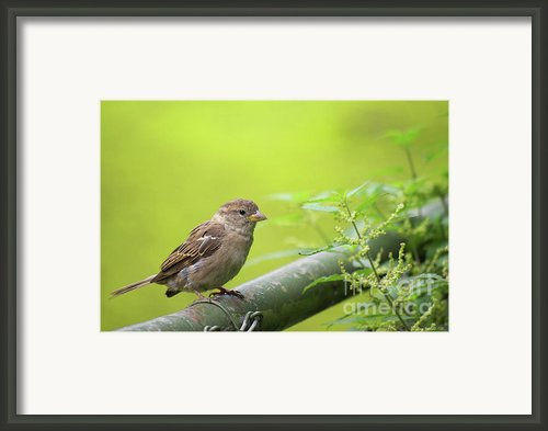 Small Sparrow Framed Print By Angela Doelling Ad Design Photo And Photoart