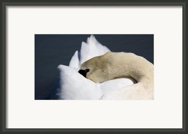 Snoozer - Swan Framed Print By Travis Truelove