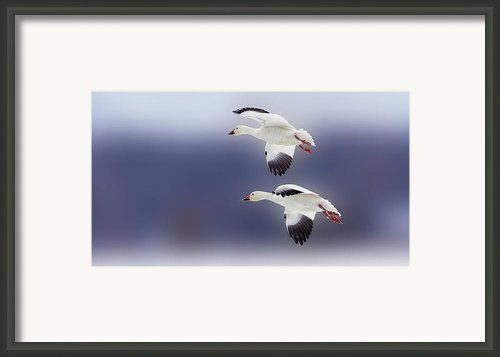 Snow Goose Flight Framed Print By Bill Tiepelman