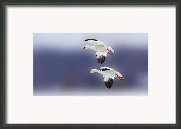 Snow Goose Flight Framed Print By Bill Tiepelman
