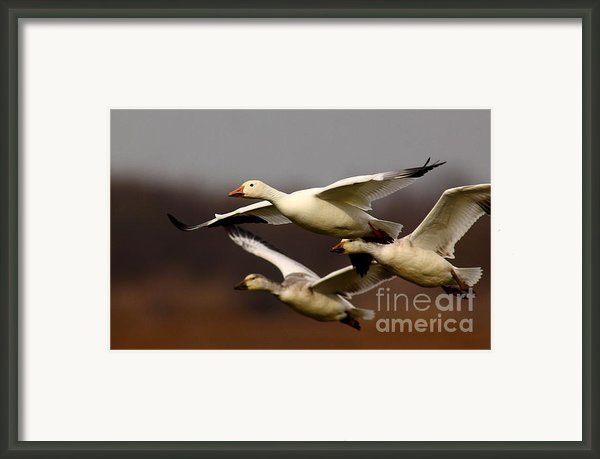Snow Goose Migration Framed Print By Robert Frederick