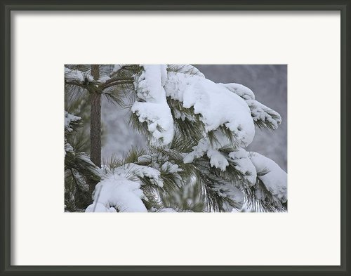 Snowy Boughs Framed Print By Penny Meyers