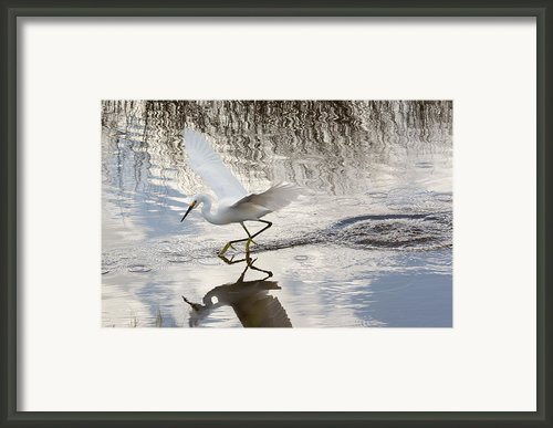 Snowy Egret Gliding Across The Water Framed Print By John Bailey