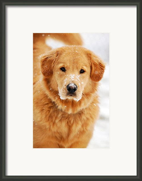 Snowy Golden Retriever Framed Print By Christina Rollo