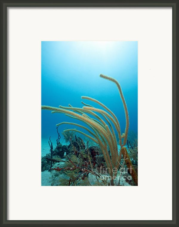 Soft Coral Underwater Framed Print By Sami Sarkis
