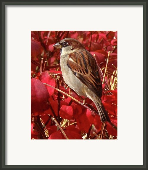 Sparrow Framed Print By Rona Black