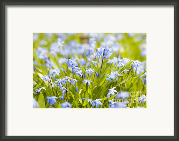 Spring Blue Flowers Glory-of-the-snow Framed Print By Elena Elisseeva