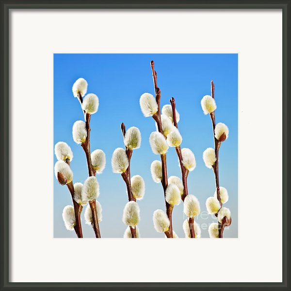 Spring Pussy Willows Framed Print By Elena Elisseeva
