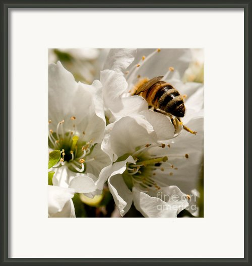 Spring Time Cherry Blossoms Framed Print By Author And Photographer Laura Wrede