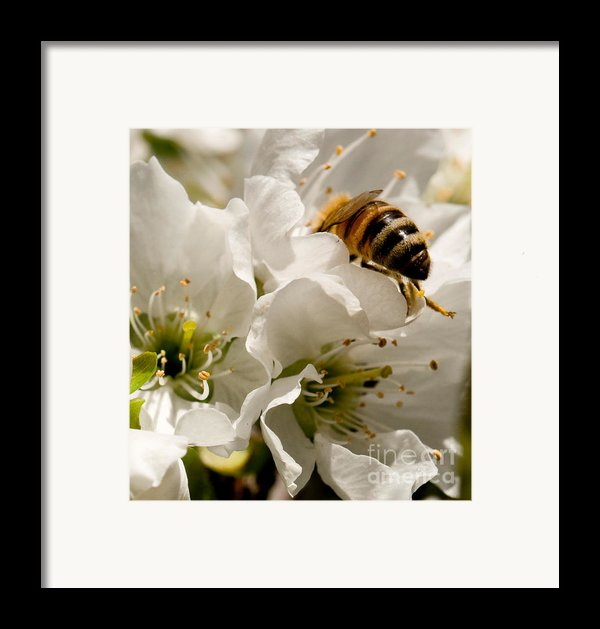 Spring Time Cherry Blossoms Framed Print By Artist And Photographer Laura Wrede