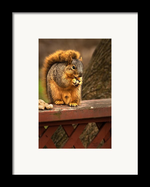 Squirrel Eating A Peanut Framed Print By  Onyonet  Photo Studios