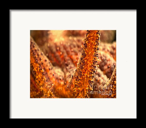 Starfish Stretch Framed Print By Artist And Photographer Laura Wrede
