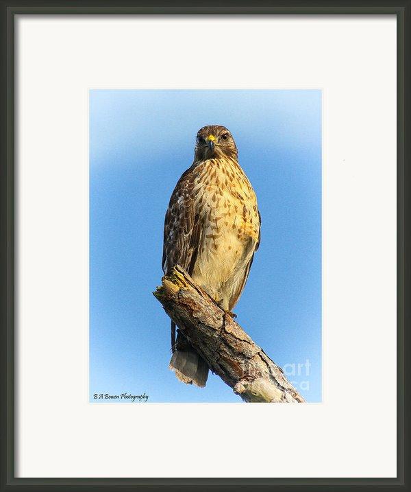 Stately Red-shouldered Hawk Framed Print By Barbara Bowen