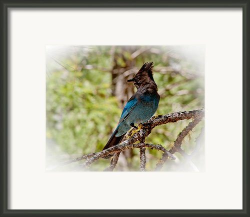 Stellar Jay Framed Print By Bill Gallagher