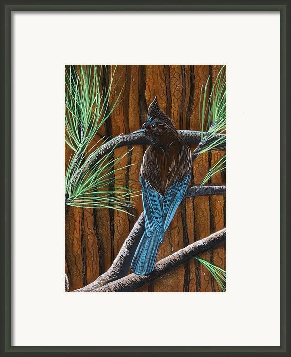 Stellar Jay Framed Print By Jennifer Lake