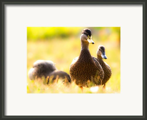 Summer Ducks Framed Print By Bob Orsillo