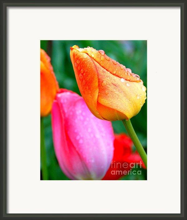 Sunday Shower Tulip Framed Print By Christy Phillips