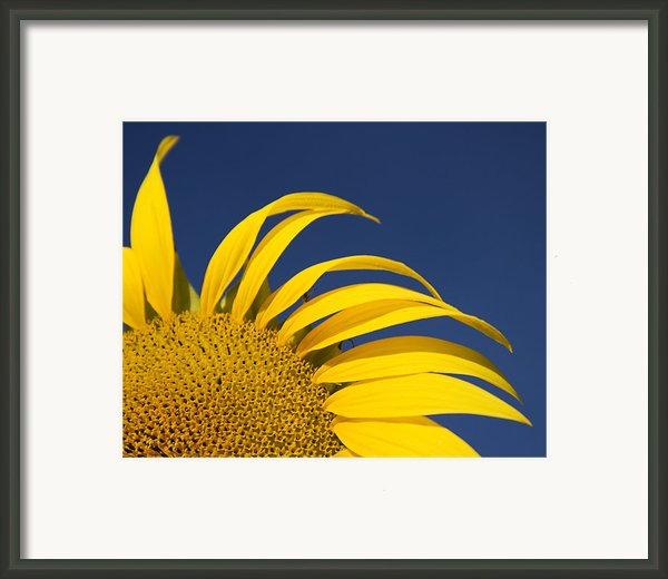 Sunflower Framed Print By Adam Romanowicz