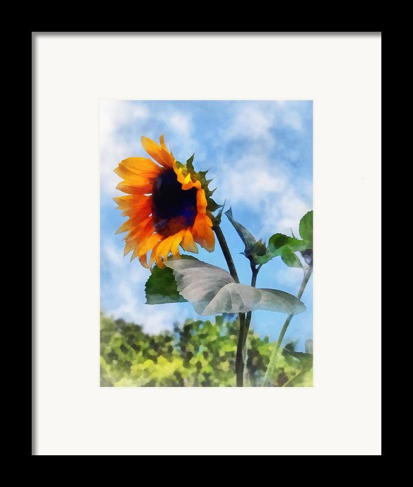 Sunflower Against The Sky Framed Print By Susan Savad